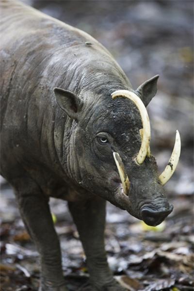 Đây là loài lợn hươu, có tên khoa học là Babyrousa babyrussa. Chúng có ít hoặc không lông, lớp da lốm đốm màu nâu và xám, tạo điều kiện thuận lợi cho sự ngụy trang.