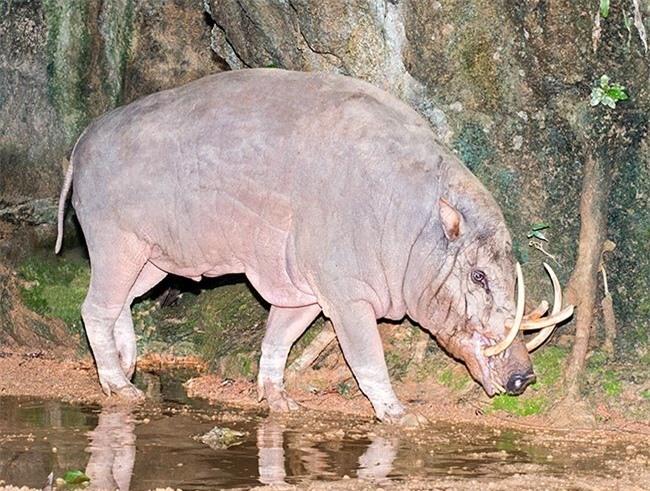 Điều thú vị là loài lợn này có tới 3 dạ dày. Do vậy, chúng còn được biết đến là loài thú nhai lại. Loài lợn hươu ăn khá tạp. Chúng thích lá, rễ, hoa quả và kể cả động vật. Bộ hàm mạnh mẽ của lợn hươu có dễ dàng cắn vỡ hạt cứng.