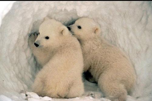 Có phải tất cả mọi loài gấu đều đi ngủ đông?