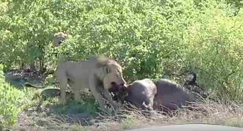 Cảnh tượng sư tử kéo trâu con còn chưa kịp ra đời khỏi bụng trâu mẹ gây sốc
