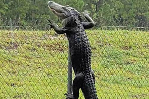 Cá sấu vượt rào cao, đột nhập căn cứ quân sự Mỹ.