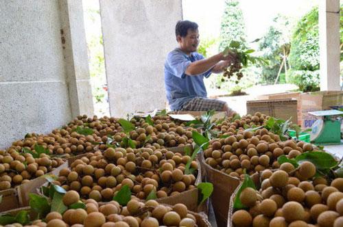 Sơn La sẽ xuất khẩu 9 triệu USD sản phẩm nhãn trong năm 2020