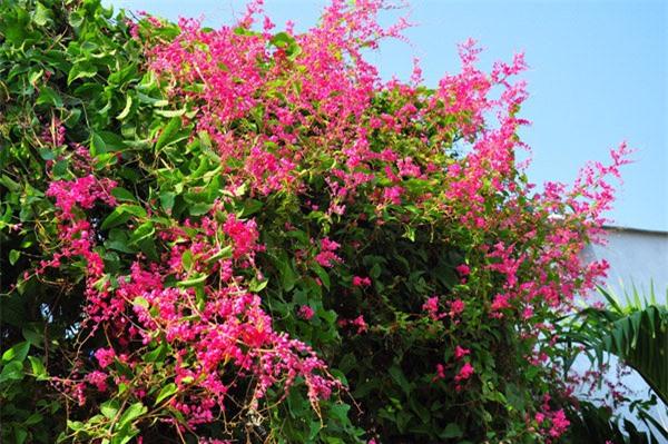 """8 loại cây trồng hàng rào tuyệt đẹp nhất định phải có để nhà """"nổi nhất xóm"""" - 10"""