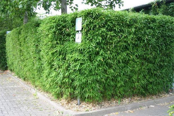 """8 loại cây trồng hàng rào tuyệt đẹp nhất định phải có để nhà """"nổi nhất xóm"""" - 13"""
