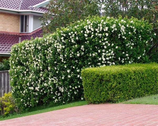 """8 loại cây trồng hàng rào tuyệt đẹp nhất định phải có để nhà """"nổi nhất xóm"""" - 14"""