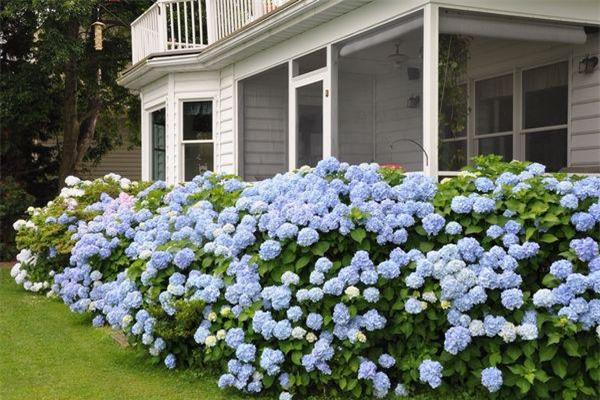 """8 loại cây trồng hàng rào tuyệt đẹp nhất định phải có để nhà """"nổi nhất xóm"""" - 2"""
