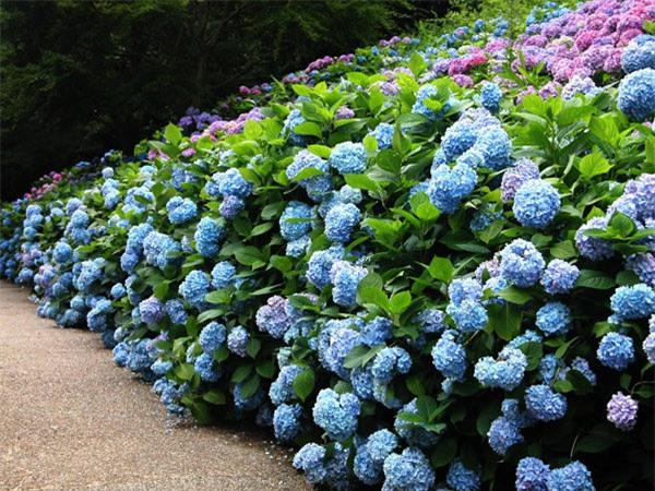"""8 loại cây trồng hàng rào tuyệt đẹp nhất định phải có để nhà """"nổi nhất xóm"""" - 3"""