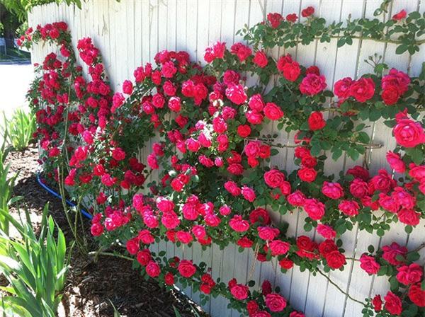 """8 loại cây trồng hàng rào tuyệt đẹp nhất định phải có để nhà """"nổi nhất xóm"""" - 4"""