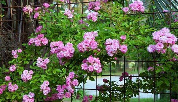 """8 loại cây trồng hàng rào tuyệt đẹp nhất định phải có để nhà """"nổi nhất xóm"""" - 5"""