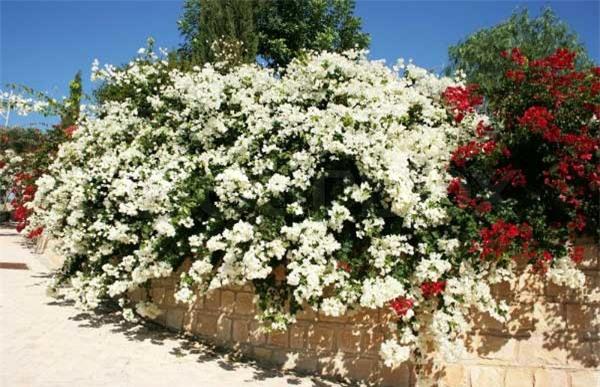 """8 loại cây trồng hàng rào tuyệt đẹp nhất định phải có để nhà """"nổi nhất xóm"""" - 8"""