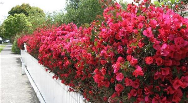 """8 loại cây trồng hàng rào tuyệt đẹp nhất định phải có để nhà """"nổi nhất xóm"""" - 9"""