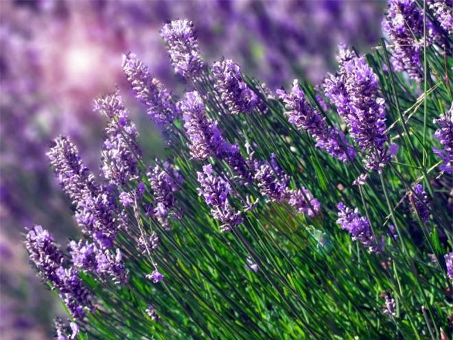 Học cách trồng hoa oải hương cho nhà vừa đẹp vừa thơm ngát - 1