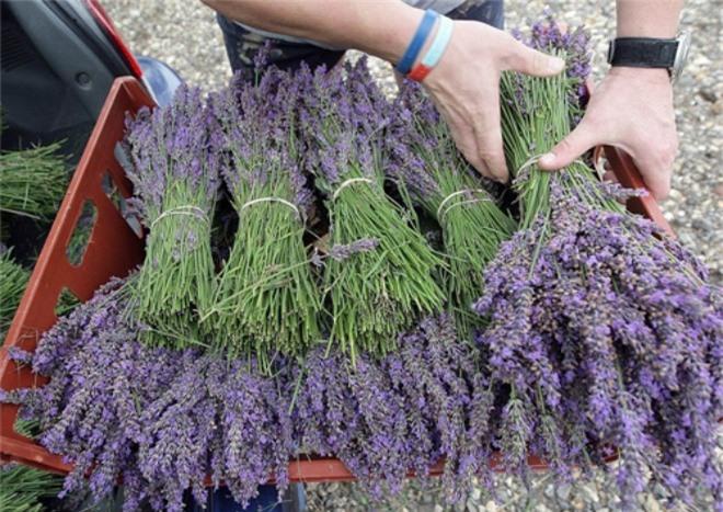Học cách trồng hoa oải hương cho nhà vừa đẹp vừa thơm ngát - 4