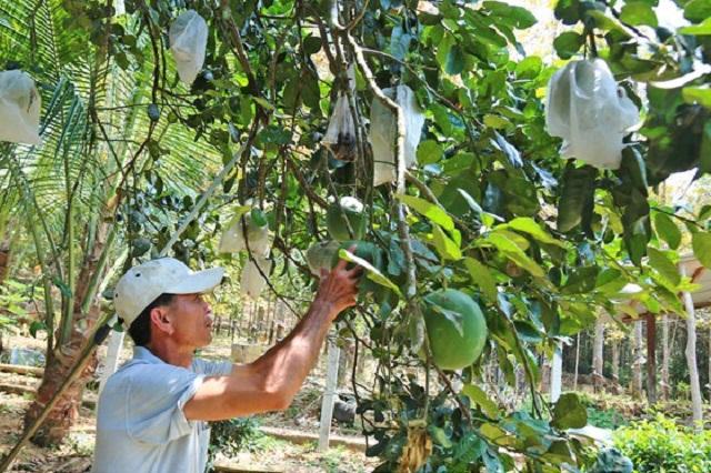 Nhờ trồng bười da xanh, gia đình ông Nguyễn Ngọc Chinh đã vươn lên thoát nghèo (Ảnh: TL)