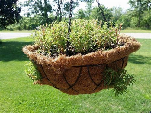 Khi mới đầu trồng, chậu hoa mười giờ chỉ có các nhánh chính. Giò treo lúc này không khá thưa.