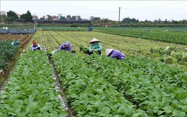 Hà Nội dự kiến thu thêm 2000 tỷ mỗi năm từ sản xuất rau sạch - Ảnh 2.