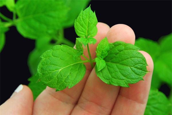 Mách chị em cách trồng cây bạc hà cực nhanh, vừa đuổi muỗi rất tốt lại có rau gia vị - 1