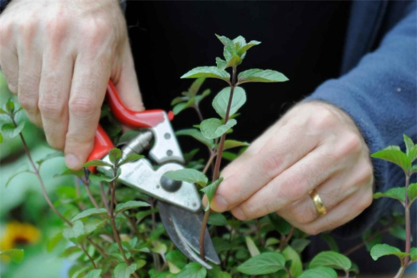 Mách chị em cách trồng cây bạc hà cực nhanh, vừa đuổi muỗi rất tốt lại có rau gia vị - 2
