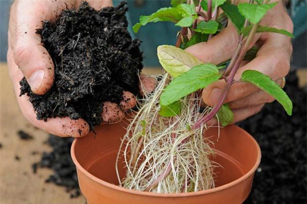 Mách chị em cách trồng cây bạc hà cực nhanh, vừa đuổi muỗi rất tốt lại có rau gia vị - 4
