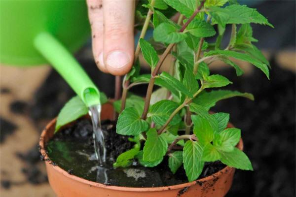 Mách chị em cách trồng cây bạc hà cực nhanh, vừa đuổi muỗi rất tốt lại có rau gia vị - 5