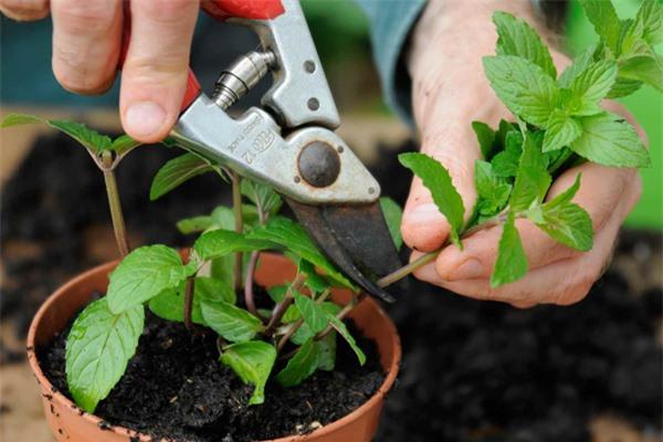 Mách chị em cách trồng cây bạc hà cực nhanh, vừa đuổi muỗi rất tốt lại có rau gia vị - 6