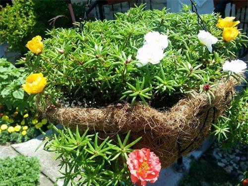 Mách nhỏ cách trồng và chăm hoa mười giờ nở đẹp, sai hoa - 10