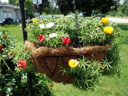 Mách nhỏ cách trồng và chăm hoa mười giờ nở đẹp, sai hoa - 12