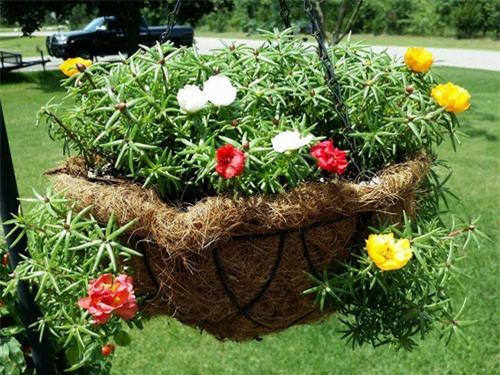 Mách nhỏ cách trồng và chăm hoa mười giờ nở đẹp, sai hoa - 13