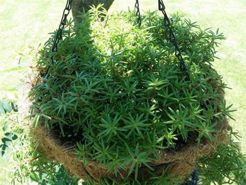 Mách nhỏ cách trồng và chăm hoa mười giờ nở đẹp, sai hoa - 3