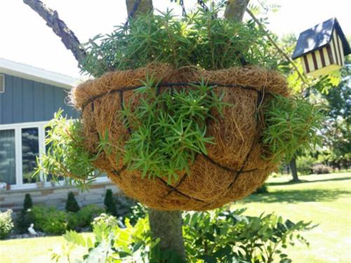 Mách nhỏ cách trồng và chăm hoa mười giờ nở đẹp, sai hoa - 4