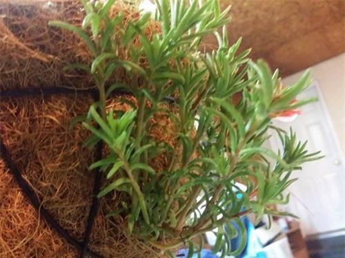 Mách nhỏ cách trồng và chăm hoa mười giờ nở đẹp, sai hoa - 5