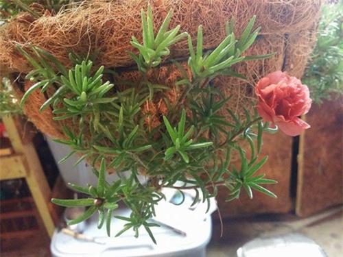 Mách nhỏ cách trồng và chăm hoa mười giờ nở đẹp, sai hoa - 6