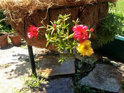 Mách nhỏ cách trồng và chăm hoa mười giờ nở đẹp, sai hoa - 7