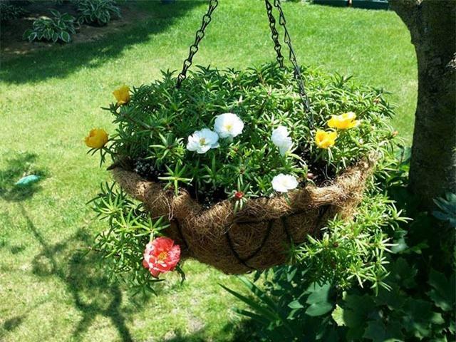 Mách nhỏ cách trồng và chăm hoa mười giờ nở đẹp, sai hoa - 8