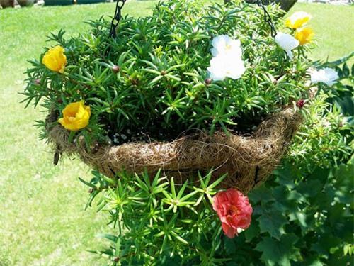 Mách nhỏ cách trồng và chăm hoa mười giờ nở đẹp, sai hoa - 9