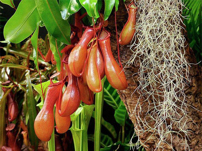 Mê mẩn trước vẻ đẹp của những loài cây ăn thịt độc lạ nhất hành tinh - Ảnh 3.