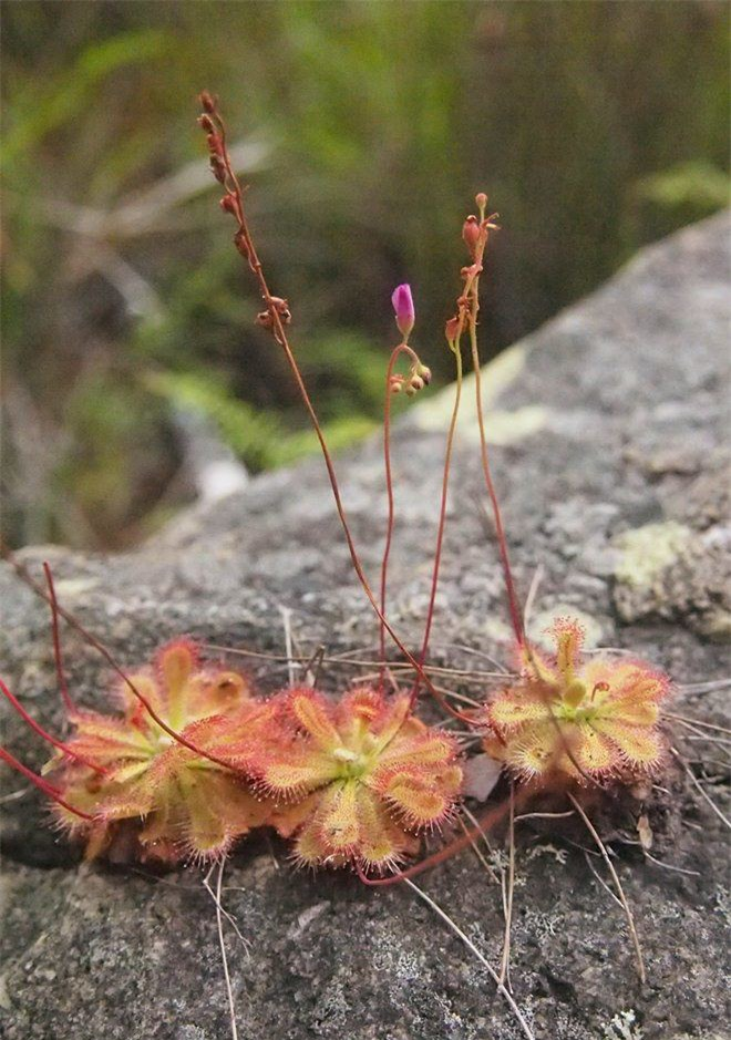 Mê mẩn trước vẻ đẹp của những loài cây ăn thịt độc lạ nhất hành tinh - Ảnh 9.