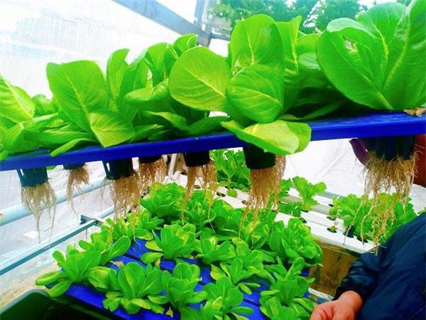 Nhà chật mà vẫn muốn ăn rau sạch, học ngay cách trồng rau thủy canh vừa sạch vừa nhàn - 6