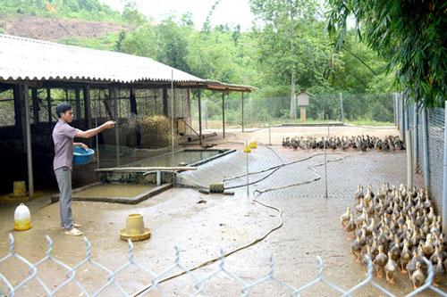 Tuyên Quang: Làm giàu nhờ mô hình nuôi vịt bầu