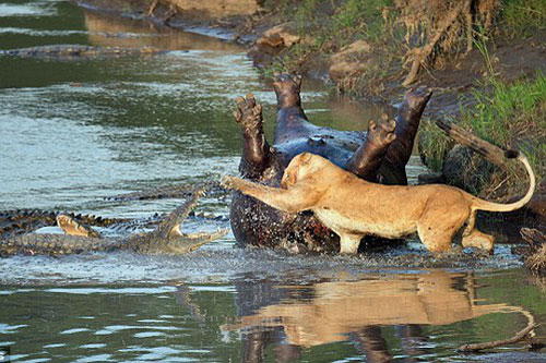 Sư tử ác chiến với cá sấu.