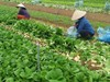 Hà Nội dự kiến thu thêm 2.000 tỷ mỗi năm từ sản xuất rau sạch