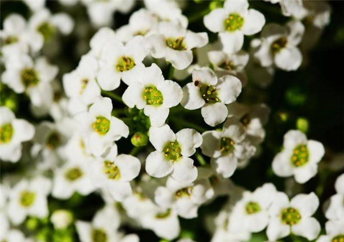 9 loài hoa treo giỏ rực rỡ nhất, dễ trồng nhất trong nhà - 2