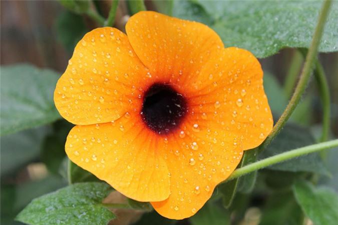 9 loài hoa treo giỏ rực rỡ nhất, dễ trồng nhất trong nhà - 3