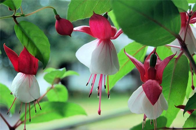 9 loài hoa treo giỏ rực rỡ nhất, dễ trồng nhất trong nhà - 5