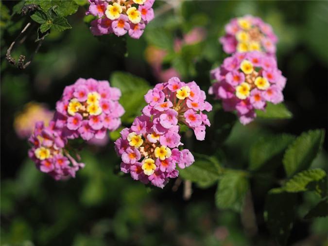 9 loài hoa treo giỏ rực rỡ nhất, dễ trồng nhất trong nhà - 7
