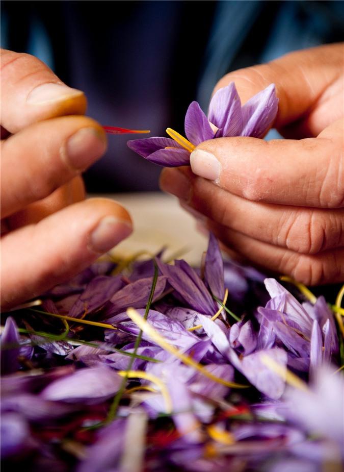 """Cận cảnh quá trình thu hoạch saffron - thứ gia vị đắt nhất thế giới được mệnh danh """"vàng đỏ"""" có giá hàng tỷ đồng 1kg, từng được Nữ hoàng Ai Cập dùng để dưỡng nhan - Ảnh 2."""