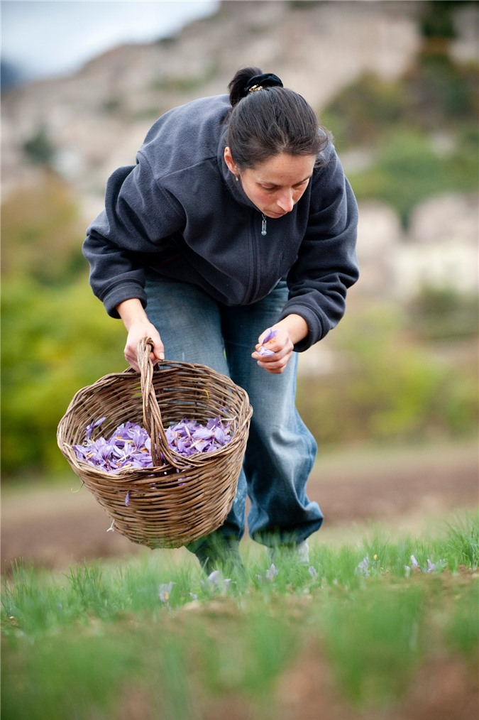 """Cận cảnh quá trình thu hoạch saffron - thứ gia vị đắt nhất thế giới được mệnh danh """"vàng đỏ"""" có giá hàng tỷ đồng 1kg, từng được Nữ hoàng Ai Cập dùng để dưỡng nhan - Ảnh 4."""