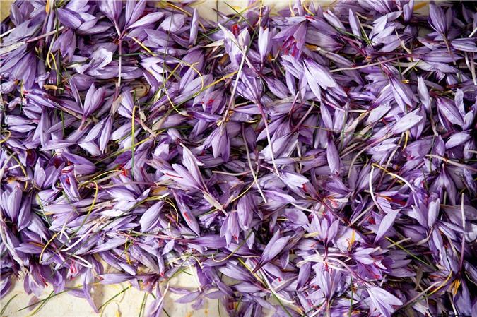 """Cận cảnh quá trình thu hoạch saffron - thứ gia vị đắt nhất thế giới được mệnh danh """"vàng đỏ"""" có giá hàng tỷ đồng 1kg, từng được Nữ hoàng Ai Cập dùng để dưỡng nhan - Ảnh 5."""