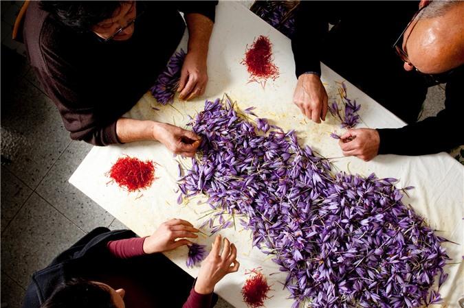 """Cận cảnh quá trình thu hoạch saffron - thứ gia vị đắt nhất thế giới được mệnh danh """"vàng đỏ"""" có giá hàng tỷ đồng 1kg, từng được Nữ hoàng Ai Cập dùng để dưỡng nhan - Ảnh 9."""