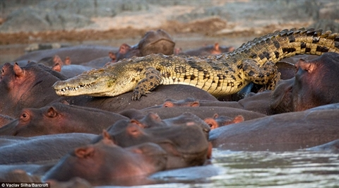 Cá sấu tìm được chạy trốn khi bị 50 con hà mã quây vào giữa.
